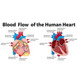 Blood flow of the human heart vector image vector image