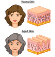 Woman with young and aged skin vector image