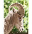 A wild goat vector image