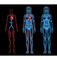 Female circulatory system vector image