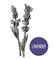 Lavender flowers sketch Hand drawn engraving vector image