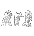 Heads chicken goose and turkey Vintage vector image