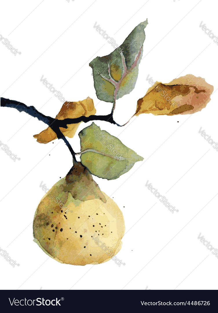 Watercolor of pear vector
