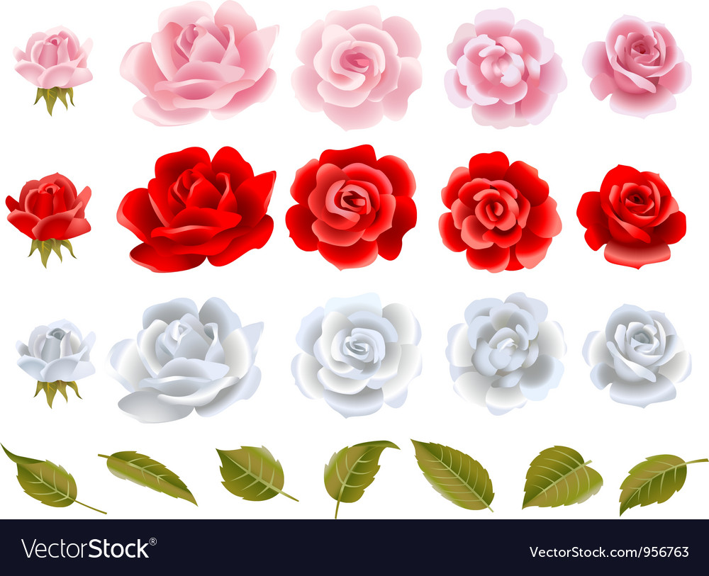 Roses vector
