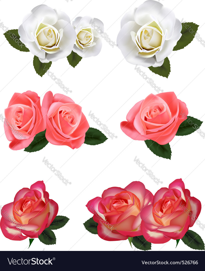 Big group of white and red roses vector