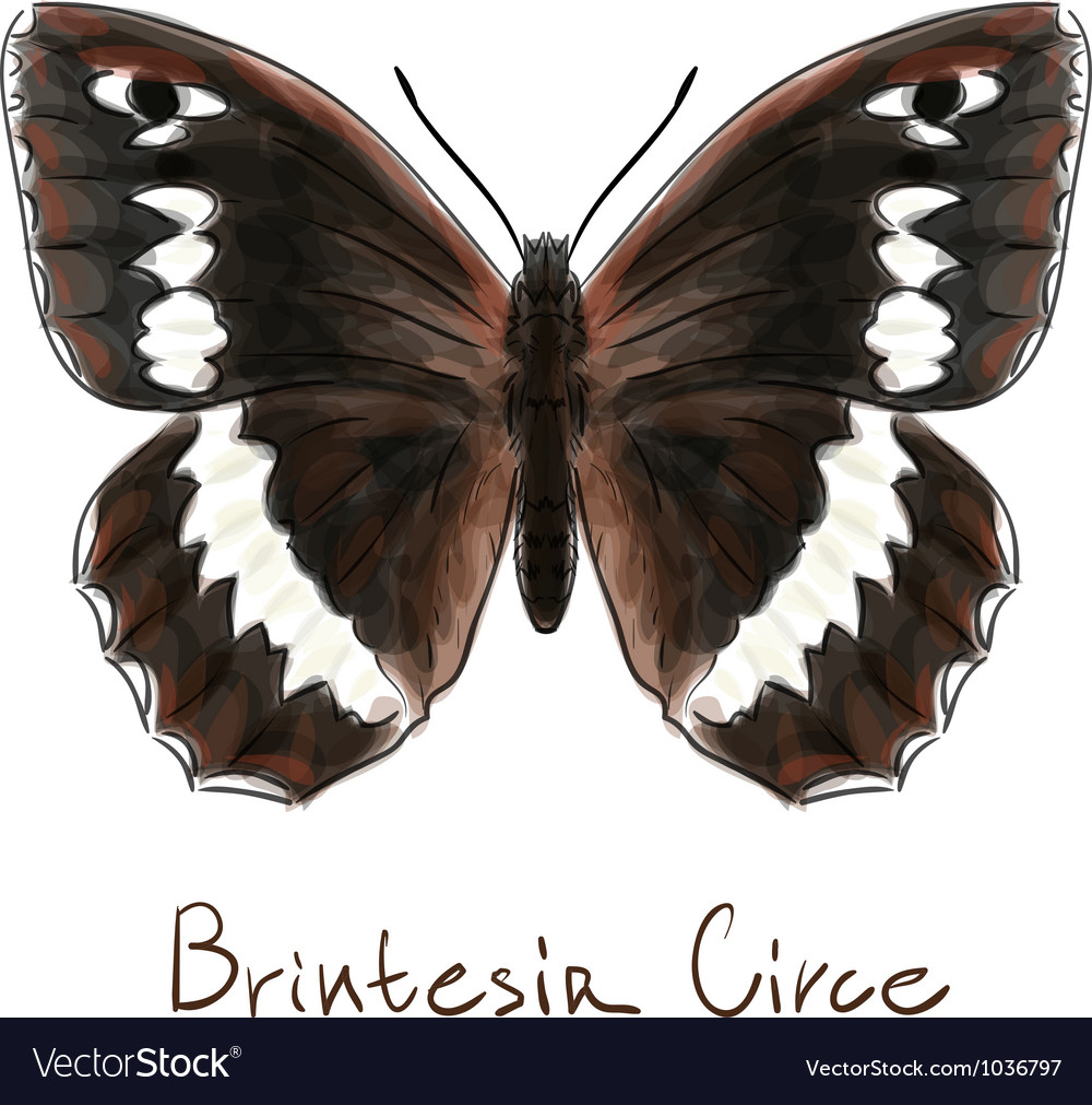 Butterfly brintesia circe watercolor imitation vector