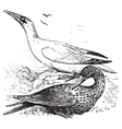 northern gannets engraving vector image vector image