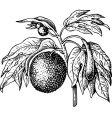 art carpus bread fruit tree vector image