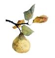 Watercolor of pear vector image