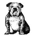 Bulldog bw vector image