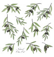 olive hand drawn olive branch set stylish design vector image