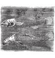 Northern cavefish vintage engraving vector image