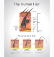human hair infographic structure vector image