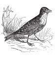 Skylark vintage engraving vector image