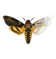 Acherontia atropos paint vector image