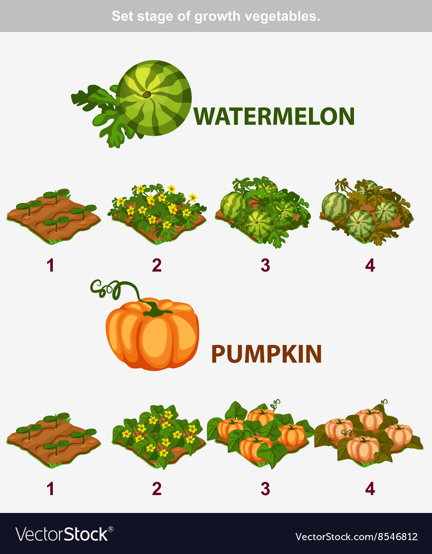 Stage of growth vegetables watermelon and pumpkin vector