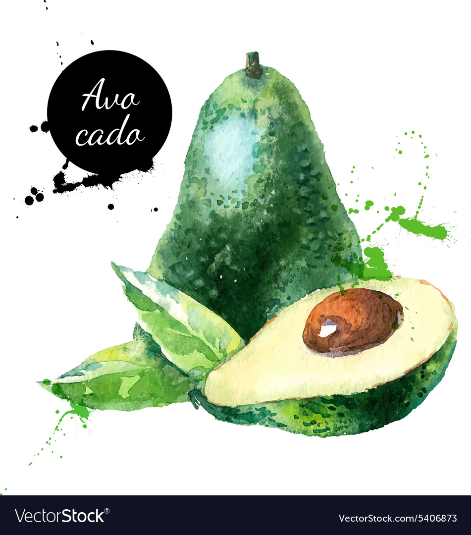 Hand drawn watercolor painting fruit avocado on vector