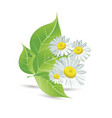 daisies and green leaves vector image