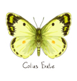 Butterfly Colias Erate vector image vector image