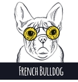Hand drawn portrait of french bulldog vector image
