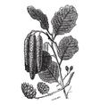 Alder vintage engraving vector image vector image