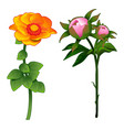 blooming zinnia and non-blooming pink rose vector image