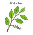 goat willow salix caprea vector image