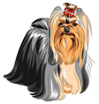 Yorkshire terrier with elegant exhibition haircut vector image