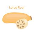lotus root exotic fruit natural tropical plant vector image