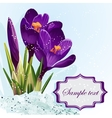 Background with purple crocuses in the snow vector image