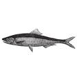 European anchovy vintage engraving vector image