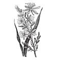 Branched Asphodel vintage engraving vector image
