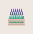 lavender flowers growing in a wooden crate flat vector image