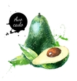 Hand drawn watercolor painting fruit avocado on vector image