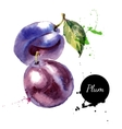 Hand drawn watercolor painting fruit plum on white vector image