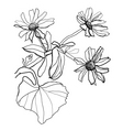 drawing chamomile vector image vector image