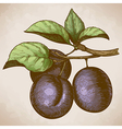Engraving retro plum on the branch vector image