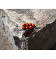 Family of ladybugs vector image