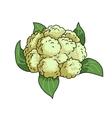 Cauliflower isolated on white vector image