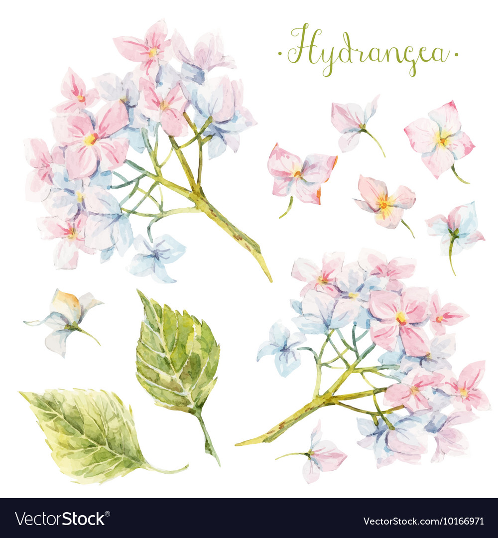Watercolor hydrangea set vector