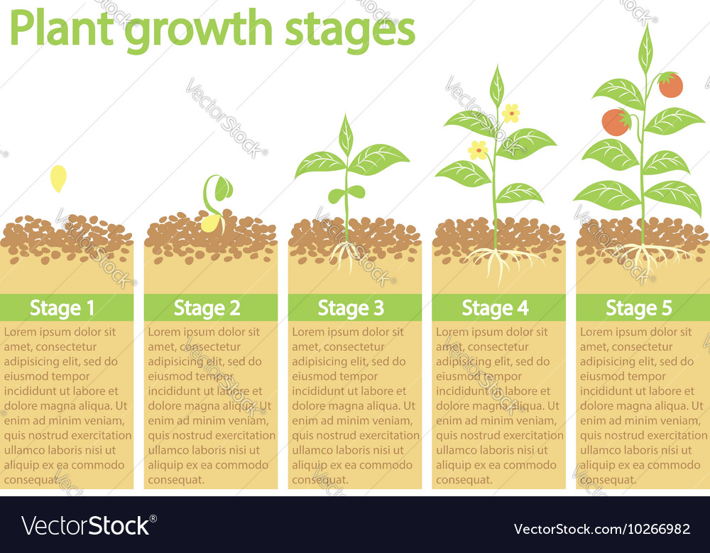 Plants growing infographic plants growing process vector