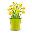 narcissus in pot vector image