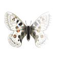 Butterfly Parnassius Apollonius vector image