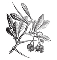 American Hawthorn vintage engraving vector image