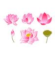 pink lotus flowers vector image
