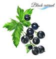 Watercolor black currant vector image