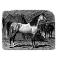 Horse engraving vector image