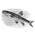 Blacknosed dace vintage engraving vector image vector image