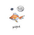 Watercolor orange goldfish vector image