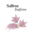 Saffron spice Crocus flower Skech Saffron vector image
